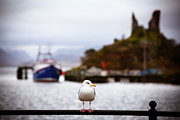 Perched Photos - Seagull at Moil Castle by Jane Rix