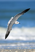 Alexander Galiano Posters - Seagull Flying Poster by Alexander Galiano