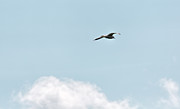 Flying Seagull Framed Prints - Seagull Flying High Framed Print by Leif Sohlman
