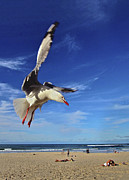 Flying Seagull Framed Prints - Seagull Framed Print by Heng Tan