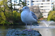 Lawrence Christopher Acrylic Prints - Seagull In Beacon Hill Park Victoria Bc Acrylic Print by Lawrence Christopher