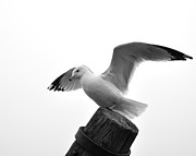 Todd Soderstrom - Seagull in Black and...