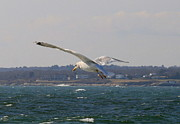 Landscape Photography Posters - Seagull in Flight  Poster by Neal  Eslinger
