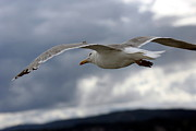 Flying Seagull Framed Prints - Seagull in Flight Framed Print by Sophie Vigneault