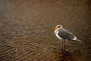 Birdwatcher Originals - Seagull in Rain by Ken McDougal