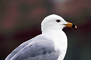 Old Montreal Photos - Seagull by John Rizzuto