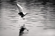 Simon West - Seagull landing on lake