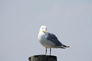Art In Acrylic Framed Prints - Seagull Looking For Some Food Framed Print by John Telfer