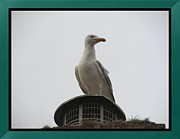 Sylvia Howarth - Seagull Looking Out From...