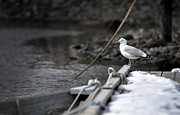 Sea Bird Photos - Seagull on a Maine Vacation by Thomas Schoeller