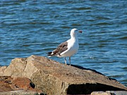 Silver Gulls Posters - Seagull on Rocks at Jersey Shore. Poster by Annie Zeno