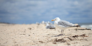 Hamptons Photos - Seagull on the Beach by Blaire Ring Second Ave Photography