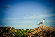 Summer Pyrography Posters - Seagull On The Rock Poster by Raimond Klavins