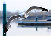Flying Seagulls Framed Prints - Seagull over the Pier Framed Print by Carol Groenen
