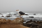 Sea Gull Prints - Seagull Overlooking Foggy Asilomar State Beach in Pacific Grove Near Monterey California 5D25125 Print by Wingsdomain Art and Photography