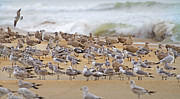 Flocks Photo Posters - Seagull Paradise Poster by Betsy A Cutler East Coast Barrier Islands