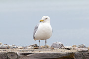 Soft Tones Posters - Seagull Photo Poster by Stephanie McDowell