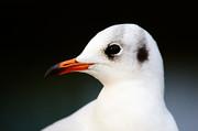 Nick  Biemans - Seagull portrait