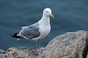 Sitting On Rock Prints - Seagull Print by Sebastian Musial