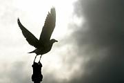 Andrew Hewett - Seagull Silhoette