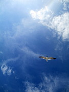 Sea Birds Prints - Seagull Soaring Print by Randall Weidner