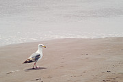 Cindy Garber Iverson - Seagull strolling