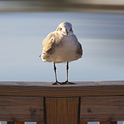 Bird Portrait Posters - Seagull With An Attitude  Poster by Mike McGlothlen