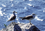 Water Bird Photos - Seagulls by Anonymous