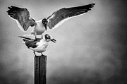 South Padre Island Texas Posters - Seagulls Playing Poster by Gary Szatkowski