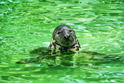 Breathing Originals - Seal in the Kaliningrad Zoo by Nelieta Mishchenko