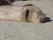 Seal Photos - Seal nap by Kristin Beery