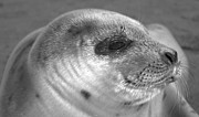 Amazing Jules - Seal Pup Smile