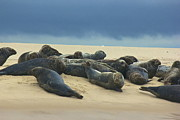Amazing Jules - Seals Of Monomoy