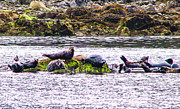 Seals Resting Print by Robert Bales