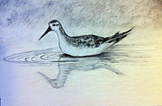 Sandpiper Drawings Prints - Searching Print by Melissa Rubin
