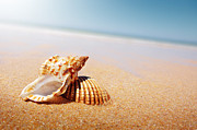Sand Photo Posters - Seashell and Conch Poster by Carlos Caetano