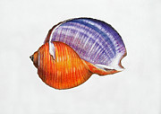 Marine Mollusc Drawings Prints - Seashell Print by Julia Mikhailiuk