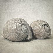 Muted Framed Prints - Seashell nO.3 Framed Print by Taylan Soyturk