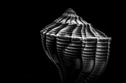 Shells Prints - Seashell on Black Print by Bob Orsillo