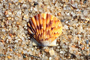 Agate Beach Art - Seashell on Sandy Beach by Carol Groenen
