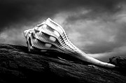 Macro Prints - Seashell Without The Sea Print by Bob Orsillo