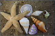 Star Fish Originals - Seashells and Star Fish by Dora Sofia Caputo
