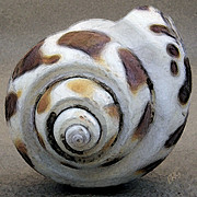 White Spiral Prints - Seashells Spectacular No 2 Print by Ben and Raisa Gertsberg