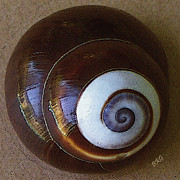Spirals Posters - Seashells Spectacular No 26 Poster by Ben and Raisa Gertsberg