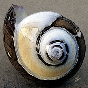 Black - Seashells Spectacular No 3 by Ben and Raisa Gertsberg