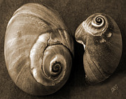 Shell Texture Framed Prints - Seashells Spectacular No 6 Framed Print by Ben and Raisa Gertsberg