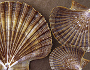 Yellow Line Prints - Seashells Spectacular No 7 Print by Ben and Raisa Gertsberg