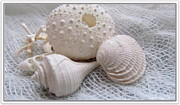 White Cloth Digital Art Posters - Seashells Study 1 Poster by Danielle  Parent