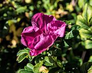 Seasons Last Rose Print by Leif Sohlman