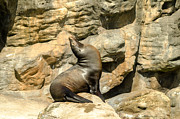 Sea Lion Photos - Seated Sea Lion by Jess Kraft